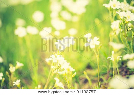Vintage Photo Of Blooming White Flowers Of Chickweed