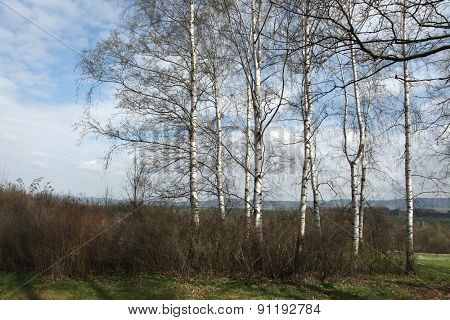 Birch grove in Northern Bohemia, Czech Republic.