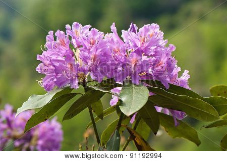 Branch Blooming Rhododendrons