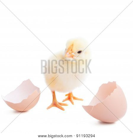 The Yellow Small Chick With Egg
