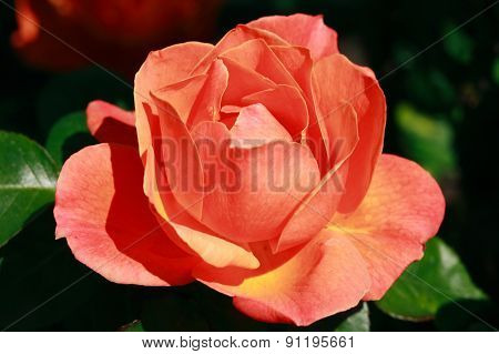 Rose 'Fellowship'