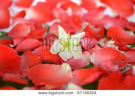Jamaican cherry flower
