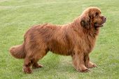 pic of newfoundland puppy  - The portrait of Newfoundland brown dog in the garden - JPG