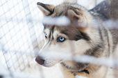picture of husky  - beautiful husky dog - JPG