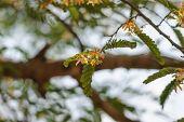 image of tamarind  - There are flowers of tamarind and tamarind leaves - JPG