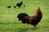 image of copper  - Free range chickens and chicks - JPG