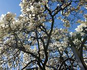 stock photo of magnolia  - Magnolia with white flowers at spring in Tradate  - JPG