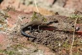 picture of lizards  - A lizard - JPG