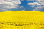 picture of turnip greens  - field of rapeseed  - JPG