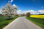 picture of cherry trees  - oad and alley of flowering cherry - JPG