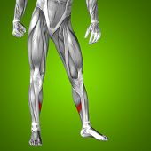 image of human muscle  - Concept or conceptual 3D human lower leg anatomy or anatomical and muscle on green gradient background - JPG