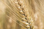 picture of spike  - Harvest of ripe wheat  under the sun - JPG