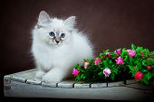 foto of masquerade  - Neva masquerade kitten on dark brown background - JPG