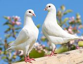 foto of pecker  - two white pigeon on flowering background - imperial pigeon - ducula