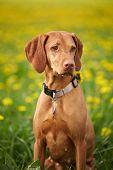 stock photo of hungarian  - Hungarian Vizsla pointer dog outdoor - JPG