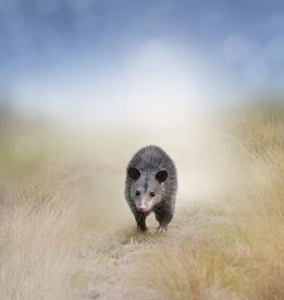 picture of opossum  - Young Opossum Walking In A Field - JPG