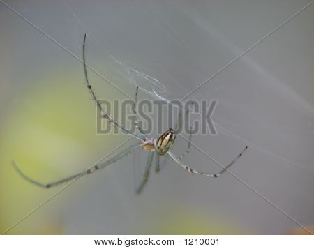 Standrews Spider