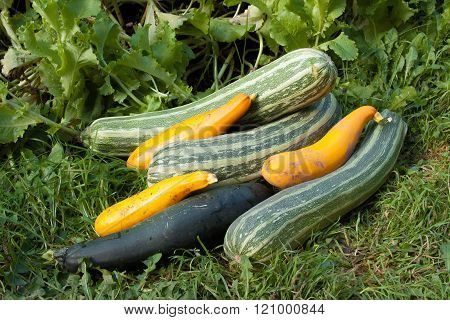 The Large Harvest Of Vegetable Marrows