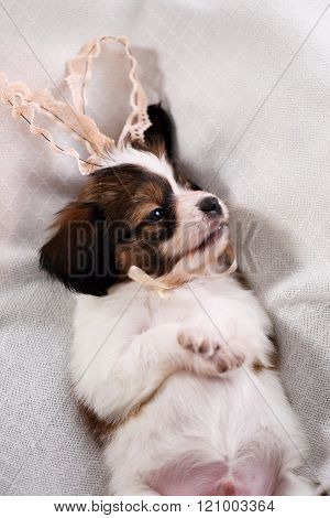 puppy with rabbit ears, top view