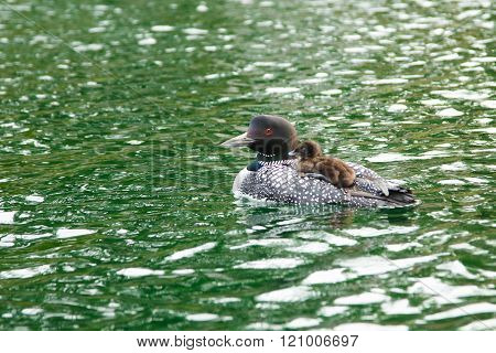 Baby loon and mother