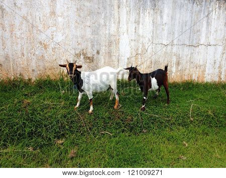 Two Cute Blanck And White Goats On A Farm Are Outside Grazing And Eating Grass.