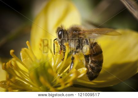 winter aconite being pollinated by a honey bee