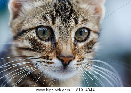 muzzle kitten closeup cat on the blurry background