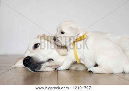 golden retriever dog and puppy