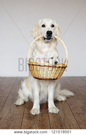 golden retriever dog holding a basket with puppy
