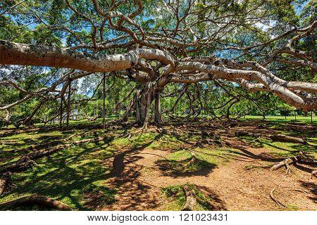 Ficus Benjamina tree in Peradeniya Botanical Gardens, Kandy, Sri Lanka