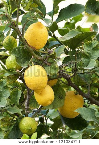 Fresh lemon on the tree, lemon tree, maltese flora, maltese fruits. malta fora