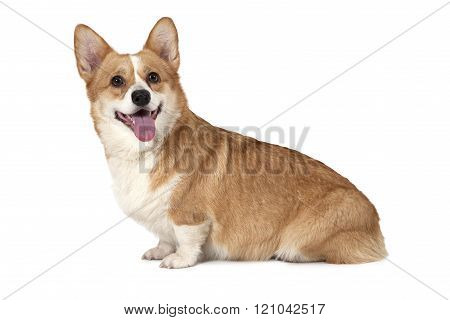 Purebred Welsh Corgi Pembroke Dog