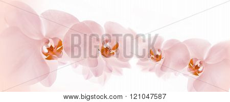 Pink orchids flowers isolated on white background