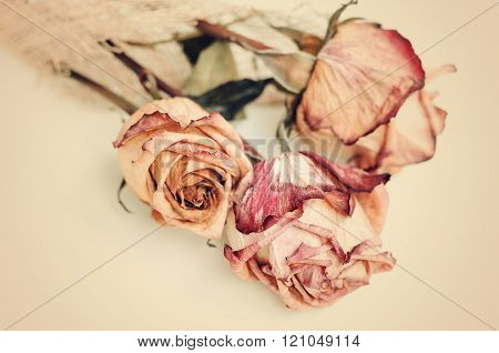 Fading rose. Dried rose and petals on  white background