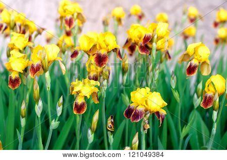 Close up of beautiful yellow iris flowers