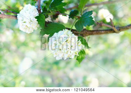 Springtime blossom background. Delicate White flowers viburnum