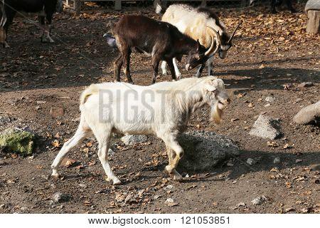 Goats On Farm