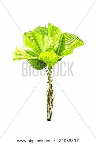 Livistona retundifolia palm tree isolated