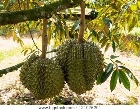 Fresh Durian On Durian Tree In Ease Of Thailand.