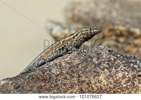 Side-blotched Lizard - Uta stansburiana