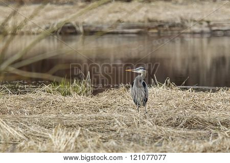 Heron By Water In Grass.