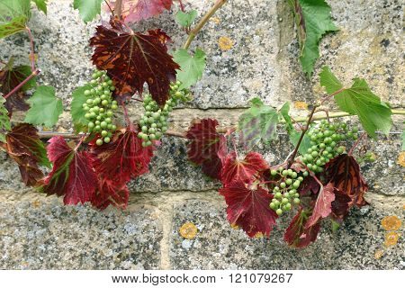 Grapes On Wall