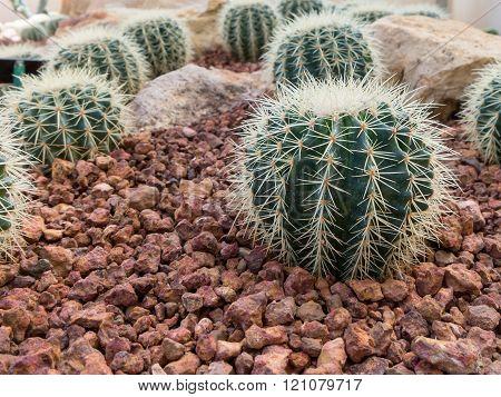 Echinocactus grusonii hildm (cactus, Cactaceae).
