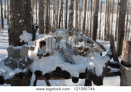 the skull of wild animals in the forest
