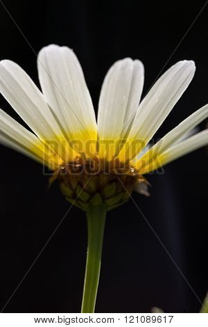 White daisy flower with yellow center, side shot dark background.