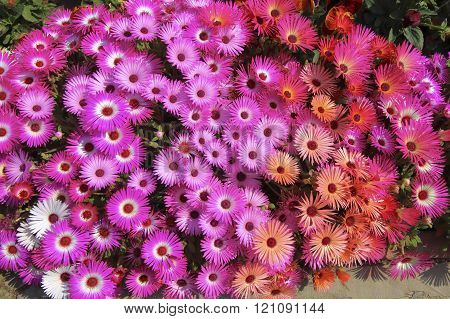 Flower Background Livingstone Daisies