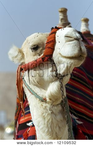 Head and neck of a camel