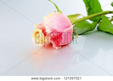 Beautiful Colorful Rose Flower On Light Background With Dew, Close Up