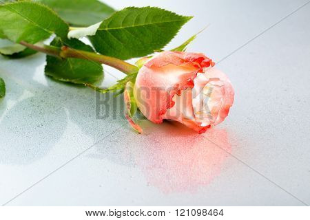 Beautiful Orange Rose Flower On Light Background With Dew And Reflection, Close Up