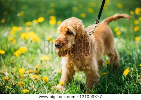 Funny Red English Cocker Spaniel Dog In Green Grass